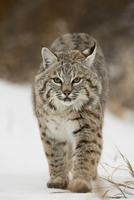 Bobcat (Lynx rufus) in snow, near Bozeman, Montana, United States of America, North America 20025361365| 写真素材・ストックフォト・画像・イラスト素材|アマナイメージズ