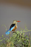 Grey-headed kingfisher (grey-hooded kingfisher) (gray-headed kingfisher) (gray-hooded kingfisher) (Halcyon leucocephala), Sambur