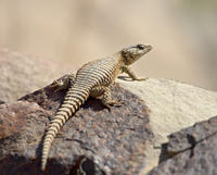Karoo girdled lizard (Cordylus polyzonus), Mountain Zebra National Park, South Africa, Africa 20025361401| 写真素材・ストックフォト・画像・イラスト素材|アマナイメージズ