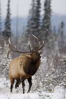 Bull elk (Cervus canadensis) bugling in the snow, Jasper National Park, UNESCO World Heritage Site, Alberta, Canada, North Ameri 20025361418| 写真素材・ストックフォト・画像・イラスト素材|アマナイメージズ