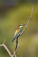 European bee-eater (golden-backed bee-eater) (Merops apiaster), Pilanesberg National Park, South Africa, Africa