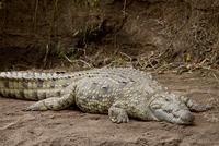 Nile crocodile (Crocodylus niloticus), Masai Mara National Reserve, Kenya, East Africa, Africa