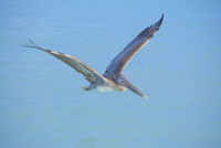Pelican flying over sea, Key West, Florida, United States of America, North America