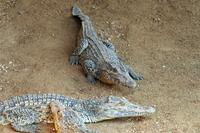 Young crocodiles in the Crocodile Breeding Centre, Laguna del Tesoro (Treasure Lagoon), Matanzas, Cuba, West Indies, Central Ame