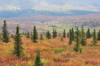 Tundra in fall colors, Denali National Park and Preserve, Alaska, United States of America, North America