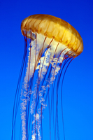 Sea nettle jellyfish (chrysaora fuscescens), Monterey Aquarium, California, United States of America, North America