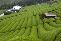 Rows of green tea bushes growing on the Makinohara tea plantations in Shizuoka, Japan 20025362118| 写真素材・ストックフォト・画像・イラスト素材|アマナイメージズ