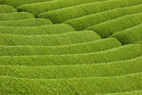 Rows of green tea bushes growing on the Makinohara tea plantations in Shizuoka, Japan 20025362120| 写真素材・ストックフォト・画像・イラスト素材|アマナイメージズ