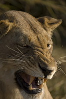 Lioness, Busanga Plains, Kafue National Park, Zambia, Africa 20025362433| 写真素材・ストックフォト・画像・イラスト素材|アマナイメージズ