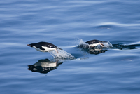 Adelie penguins (Pygoscelis adelia), Dumont d'Urville, Antarctica, Polar Regions 20025362678| 写真素材・ストックフォト・画像・イラスト素材|アマナイメージズ