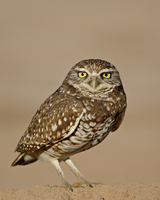 Burrowing owl (Athene cunicularia), Salton Sea, California, United States of America, North America 20025362817| 写真素材・ストックフォト・画像・イラスト素材|アマナイメージズ
