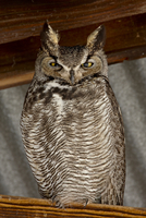 Great horned owl (Bubo virginianus), Whitewater Draw Wildlife Area, Arizona, United States of America, North America 20025362906| 写真素材・ストックフォト・画像・イラスト素材|アマナイメージズ
