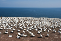 Northern gannet colony, Ile Bonaventure offshore of Perce, Quebec, Canada, North America 20025363019| 写真素材・ストックフォト・画像・イラスト素材|アマナイメージズ