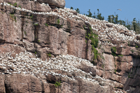 Northern gannet colony, Ile Bonaventure offshore of Perce, Quebec, Canada, North America 20025363021| 写真素材・ストックフォト・画像・イラスト素材|アマナイメージズ
