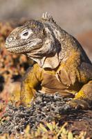 Galapagos land iguana (Conolophus subcristatus), Isla Plaza (Plaza island), Galapagos Islands, UNESCO World Heritage Site, Ecuad 20025363063| 写真素材・ストックフォト・画像・イラスト素材|アマナイメージズ