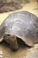 Giant tortoise (Geochelone nigra) at the Galapaguera de Cerro Colorado, tortoise breeding center, Isla San Cristobal (San Cristo 20025363085  写真素材・ストックフォト・画像・イラスト素材 アマナイメージズ