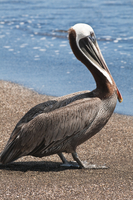 Brown pelican (Pelecanus occidentalis), Port Egas (James Bay), Isla Santiago (Santiago Island), Galapagos Islands, UNESCO World
