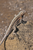Lava lizard (Microlophus albemarlensis), Port Egas (James Bay), Isla Santiago (Santiago Island), Galapagos Islands, UNESCO World 20025363092| 写真素材・ストックフォト・画像・イラスト素材|アマナイメージズ