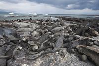 Marine iguana (Amblyrhynchus cristatus), Espinosa Point, Isla Fernandina (Fernandina Island), Galapagos Islands, UNESCO World He 20025363098| 写真素材・ストックフォト・画像・イラスト素材|アマナイメージズ