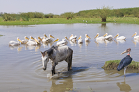 Horse and pelicans in the Abiata-Shala National Park, Ethiopia, Africa