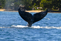 Humpback whale (Megaptera novaeangliae), Ile Sainte Marie, Madagascar, Indian Ocean, Africa 20025363465| 写真素材・ストックフォト・画像・イラスト素材|アマナイメージズ