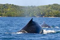 Humpback whale (Megaptera novaeangliae), Ile Sainte Marie, Madagascar, Indian Ocean, Africa 20025363466| 写真素材・ストックフォト・画像・イラスト素材|アマナイメージズ