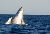 Humpback whale (Megaptera novaeangliae), Ile Sainte Marie, Madagascar, Indian Ocean, Africa 20025363468| 写真素材・ストックフォト・画像・イラスト素材|アマナイメージズ