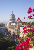 Bougainvillea flowers in front of The Capitolio building, Havana, Cuba, West Indies, Central America 20025363581| 写真素材・ストックフォト・画像・イラスト素材|アマナイメージズ