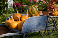 Pumpkins in a wooden wheel barrow in the historic village of Deerfield, Massachussetts, New England, United States of America, N 20025363700| 写真素材・ストックフォト・画像・イラスト素材|アマナイメージズ