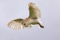 Barn owl (Tyto alba) in flight, in captivity, Cumbria, England, United Kingdom, Europe 20025363943  写真素材・ストックフォト・画像・イラスト素材 アマナイメージズ