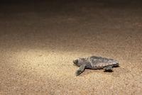 Loggerhead turtle (Caretta caretta) hatchling, moving from nest to sea at night, Banga Nek, Kwazulu Natal, South Africa, Africa