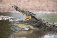 Nile crocodile (Crocodylus niloticus), jaws agape, Kruger National Park, South Africa, Africa