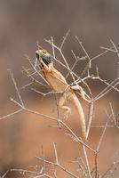 Ground agama (Agama aculeta) in breeding colours, Kgalagadi Transfrontier Park, Northern Cape, South Africa, Africa 20025363975| 写真素材・ストックフォト・画像・イラスト素材|アマナイメージズ