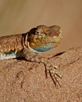 Colorado side-blotched lizard (Uta stansburiana uniformis), Canyon Country, Utah, United States of America, North America 20025364022| 写真素材・ストックフォト・画像・イラスト素材|アマナイメージズ