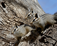 Three young cliff chipmunk (Eutamias dorsalis), Chiricahuas, Coronado National Forest, Arizona, United States of America, North