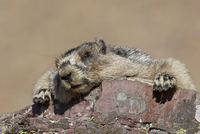 Hoary marmot (Marmota caligata), Glacier National Park, Montana, United States of America, North America