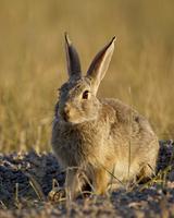 Desert cottontail (Sylvilagus auduboni), Wind Cave National Park, South Dakota, United States of America, North America 20025364044| 写真素材・ストックフォト・画像・イラスト素材|アマナイメージズ