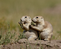 Two blacktail prairie dog (Cynomys ludovicianus) eating, Wind Cave National Park, South Dakota, United States of America, North