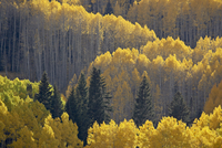 Yellow aspens and evergreens in the fall, Grand Mesa-Uncompahgre-Gunnison National Forest, Colorado, United States of America, N