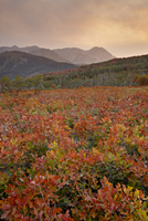 Sunset over red and orange oaks in the fall, Uinta National Forest, Utah, United States of America, North America 20025364110| 写真素材・ストックフォト・画像・イラスト素材|アマナイメージズ