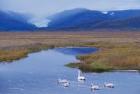 Whooper swans (Cygnus cygnus) family, Hoffelsjokull glacier in background, north of Hofn, East Fjords region (Austurland), Icela 20025364192| 写真素材・ストックフォト・画像・イラスト素材|アマナイメージズ