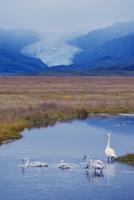 Whooper swans (Cygnus cygnus) family, Hoffelsjokull glacier in background, north of Hofn, East Fjords region (Austurland), Icela 20025364193| 写真素材・ストックフォト・画像・イラスト素材|アマナイメージズ