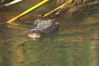 A Nile crocodile (Crocodylus niloticus) in water, Moremi Wildlife reserve, Okavango Delta, Botswana, Africa