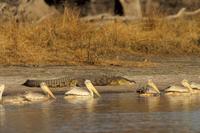 Pelicans in Moremi Game Reserve, Okavango Delta, Botswana, Africa 20025364244| 写真素材・ストックフォト・画像・イラスト素材|アマナイメージズ