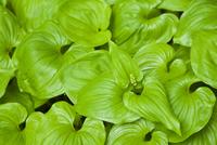 False Lily-of-the-Valley (Maianthemum dilatatum), Thomas Bay region of Southeast Alaska, United States of America, North America 20025364374  写真素材・ストックフォト・画像・イラスト素材 アマナイメージズ