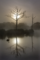 Misty summer morning on a fishing lake with dead trees and a swan, Morchard Road, Devon, England, United Kingdom, Europe