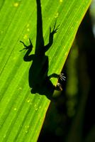 Little Gecko behind a illuminated palm leaf, Vallee de Mai, UNESCO World Heritage Site, Praslin, Seychelles, Africa 20025364824| 写真素材・ストックフォト・画像・イラスト素材|アマナイメージズ