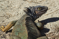 A large male Green Iguana, a lizard species endemic to Central and South America, Nosara, Nicoya Peninsula, Guanacaste Province,