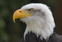 Bald eagle in captivity, Hampshire, England, United Kingdom, Europe 20025365031  写真素材・ストックフォト・画像・イラスト素材 アマナイメージズ