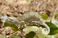 Chameleon with rolled tail on shrub, Tanzania, East Africa, Africa